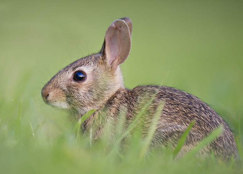 Fatal Rabbit Virus (RHDV2) Spreads to Southern Nevada